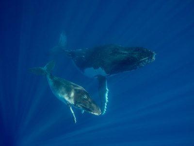 whales-freediving-yoga+scottwilsonimagery-tonga