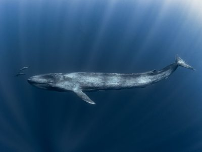 Spinner Dolphins are dwarfed by this Ocean Giant the Blue Whale
